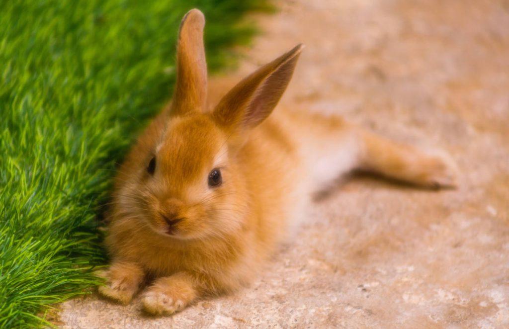 królik miniaturka leżący na trawie